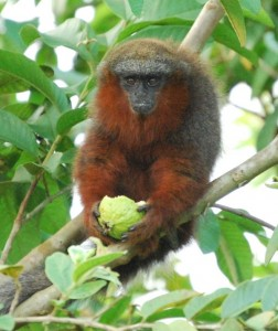 Titi Monkey2
