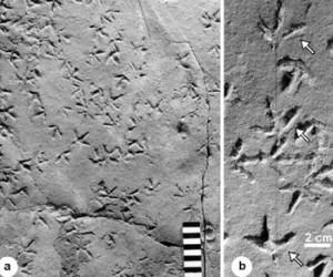 Triassic Bird Track in Argentina