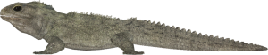 Tuatara Transparent