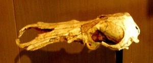 Ancient Fossil Platypus