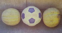 Cantaloupes the size of soccer balls