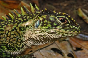 Beautiful Iguana2