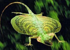 Borneo-Draco-Flying-Lizard