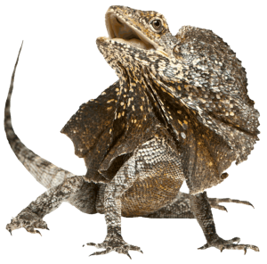 Frilled-Lizard