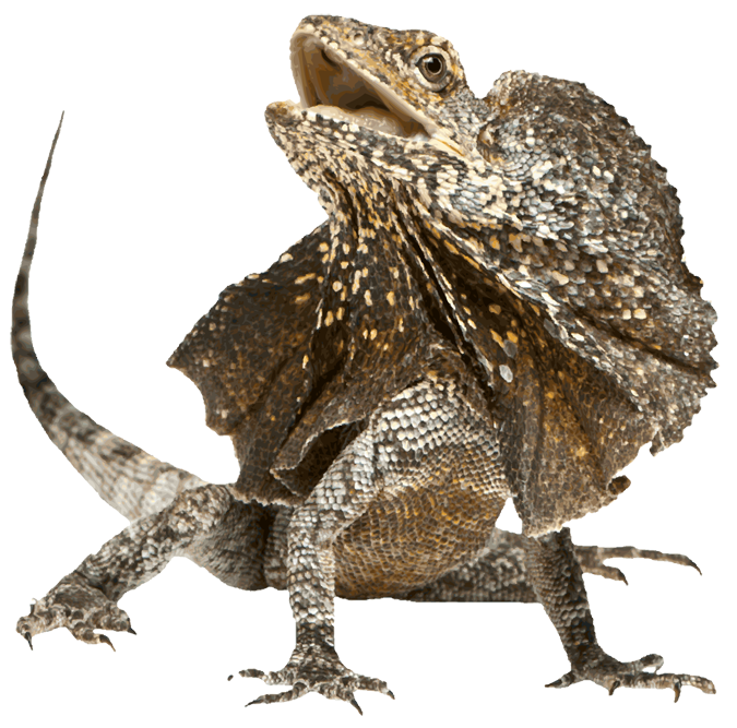 The Flying and Frilled Lizards | Genesis Park