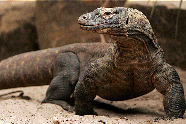 komodo dragons and other monitors genesis park. Black Bedroom Furniture Sets. Home Design Ideas