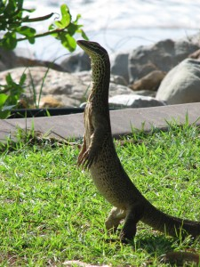 Phillipines Monitor Lizard