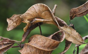Satanic Leaf-tail Gecko