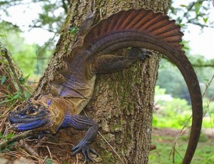 sailfin-dragon