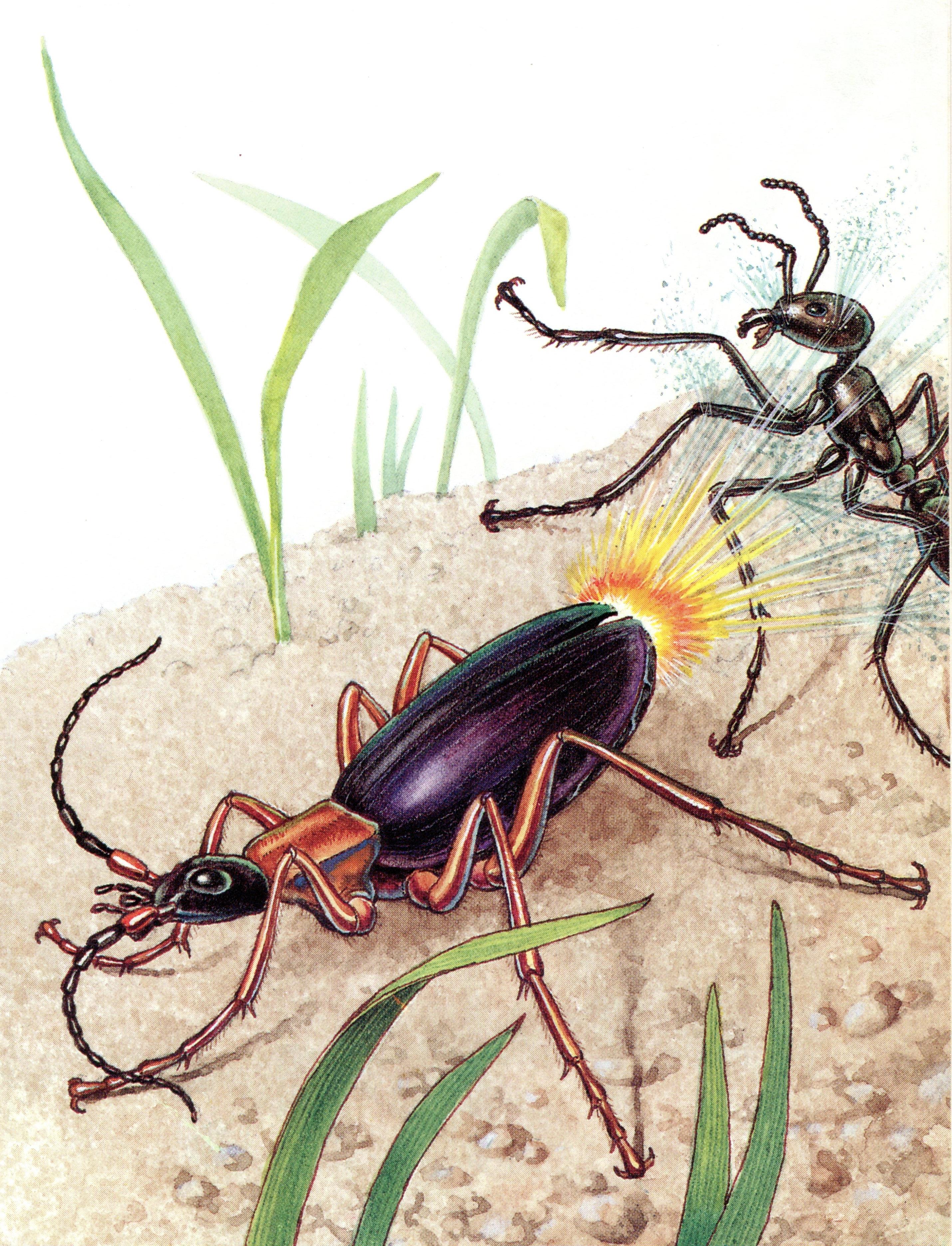 Bombadier & Ant - ICR