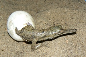 Gharial Hatching