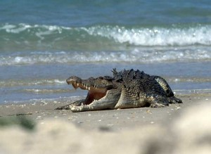 Saltwater crocodile1